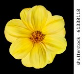 Fresh Yellow Dahlia Flower Isolated on White Background - stock photo