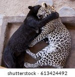 Black Leopard And Spottet...