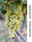 Clusters of white grapes hanging on a vine in Spain. - stock photo