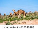 dromedary | Shutterstock . vector #613543982