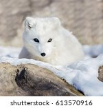 The Arctic Fox  Also Known As...