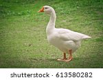 Side View Of White Goose...