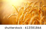 wheat field. ears of golden... | Shutterstock . vector #613581866