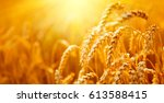 wheat field. ears of golden... | Shutterstock . vector #613588415