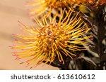 Goldfinger Pincushion Protea...