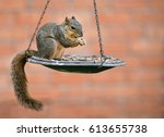 Eastern Fox Squirrel  Sciurus...