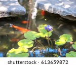 Water Lily In Pond With Koi Fish