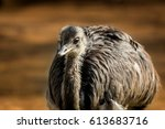 Bird The Brown Emu  Dromaius...