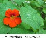 Closeup Of Orange Nasturtium...