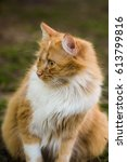 Small photo of White red big fluffy cat sitting on green grass and looking afar carefully