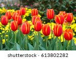 red tulips with beautiful...
