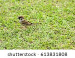 passeridae on grass. | Shutterstock . vector #613831808