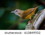 Small photo of Abbott's Babbler (Malacocincla abbotti) in real nature