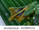 Phongsaly tree frog (Rhacophorus kio).This species is known from southern and southwestern China, south to the Lao People