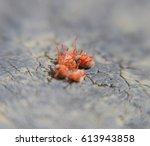 close up macro red velvet mite... | Shutterstock . vector #613943858