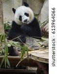 Panda Bear. Bamboo Bear. Panda...