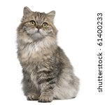 British Longhair Kitten  3...
