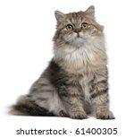 British Longhair Kitten  3...