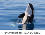 baby killer whale playing in... | Shutterstock . vector #614104382