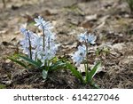 Small photo of Early squill (Mishchenko squill, white squill flowers). Grows from a small bulb, with 2-3 strap shaped leaves and pale blue flowers with darker veins, blooming in early spring or late winter.