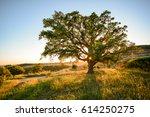 Cork Oak Tree  Quercus Suber ...