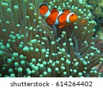 Orange Nemo Clown Fish In The...