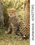 Small photo of Cheetah, Acinonyx jubatus, cub, 4-5 month old, Masai Mara Game Reserve, Kenya, East Africa