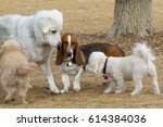 Basset Hound At Play In...