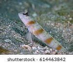 Small photo of Steinitz' prawn-goby (Amblyeleotris steinitzi)