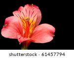 Small photo of Close-up of a red Peruvian Lily Flower (Alstroemeria Aurantiaca)