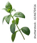 Small photo of Sweetleaf or candyleaf plant (Stevia rebaudiana), natural sweetener, stevioside source, sugar substitute. Clipping path