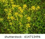 Focused Mustard Flowers