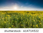 field of rapeseed plants at... | Shutterstock . vector #614714522
