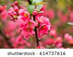 cherry blossom in spring for... | Shutterstock . vector #614737616