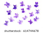 Viola Blossoms Isolated Over...