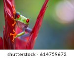 Small photo of Red eyed tree frog from the rainforest of Central America. Agalychnis callidrias
