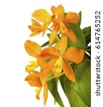 Small photo of a beautiful orange yellow Cattleya laelia hybrid orchid plant flower closeup macro with leaves isolated on white