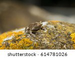 Small photo of A young Common midwife toad, Alytes obstetricans leaving the pond where it was born.