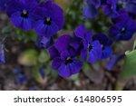 blue pansy | Shutterstock . vector #614806595