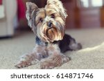 Yorkshire Terrier Lies And...