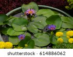 Beautiful Purple Water Lilies...