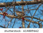 a sparrow pecking a catkin on a ... | Shutterstock . vector #614889662