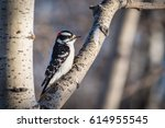 Downy Woodpecker Perched On A...
