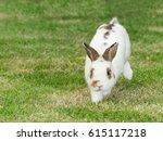 Stock photo netherlands dwarf rabbit or nd rabbit running on green grass 615117218