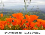 California Poppies  Figueroa...