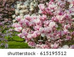 Blooming Magnolia Tree With...