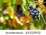 Mature grapes. - stock photo