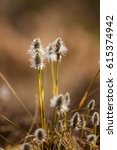 Small photo of Beautiful hare's-tail cottongrass in a natural habitat in early spring.