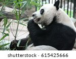 playful male panda in thailand  ... | Shutterstock . vector #615425666