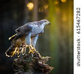 Small photo of A male Goshawk (Accipiter gentilis) sitting on the stump in forest during sunset. Wildlife photo.
